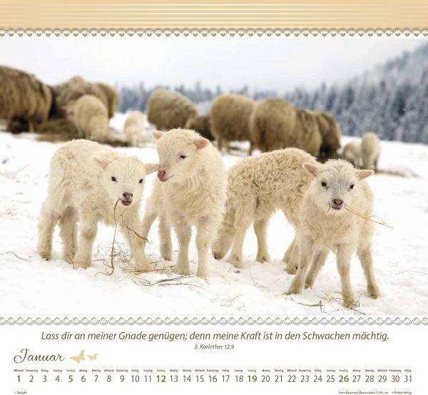 Ein Leben für die Schafe 2020 Wandkalender
