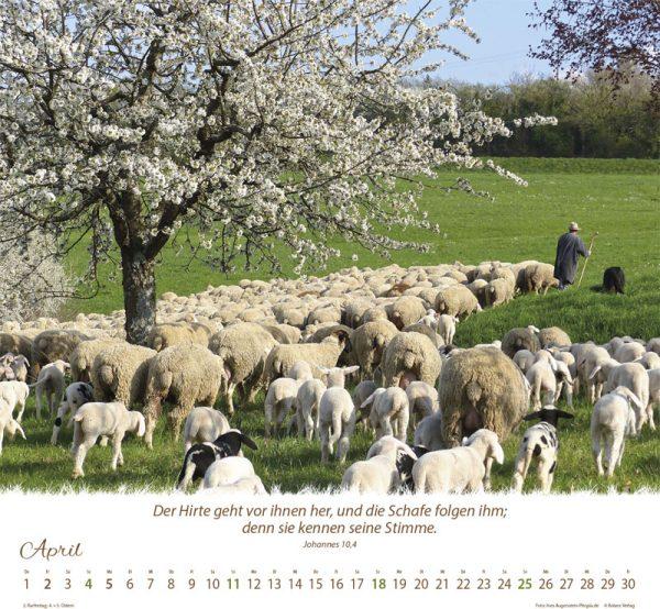 179618021 04 600x554 - Ein Leben für die Schafe 2021 Wandkalender