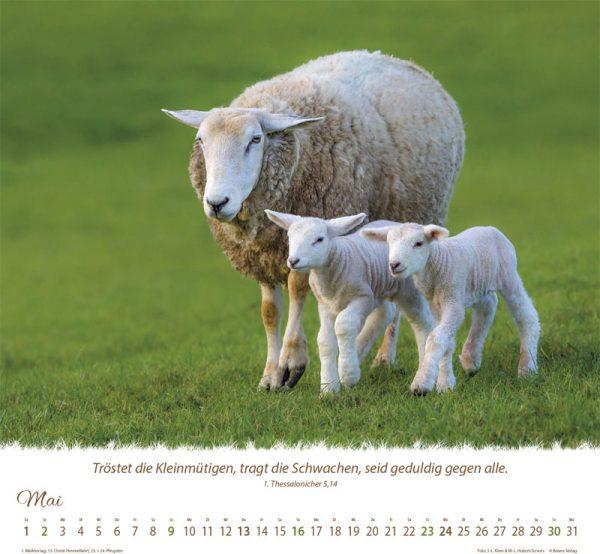 179618021 05 1 600x554 - Ein Leben für die Schafe 2021 Tischkalender