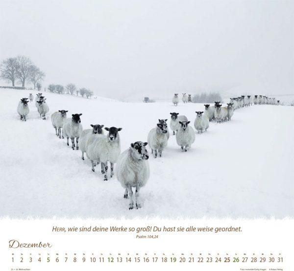 179618021 12 600x554 - Ein Leben für die Schafe 2021 Wandkalender